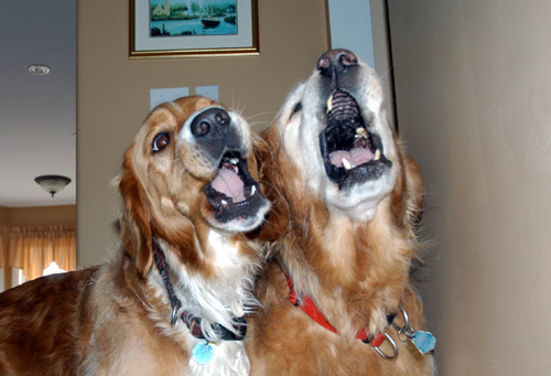 dogs singing doubled tracks