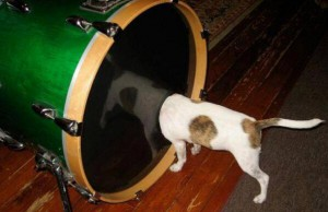 dog listening to the bass drum closely