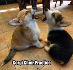 corgis singing backing vox