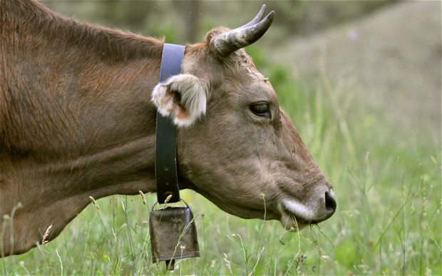 cow with cowbell - they are dynamically symmetrical