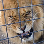 caged lion - gotcha!